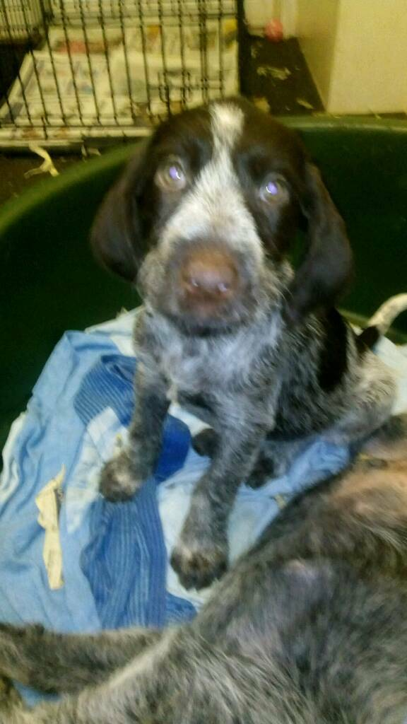 German wire haired pointer puppies | in Buckie, Moray | Gumtree