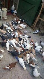 afghani pigeon for sale