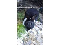 Black and White Dutch Rabbit