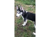 7 month old husky for sale