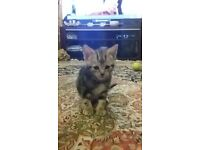 tabby kitten(£45 pounds) 11 weeks old