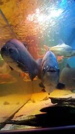 3 large pacu fish