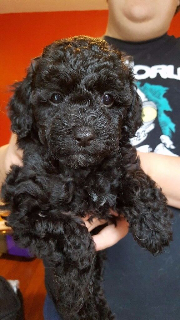 Lhasapoo Puppies for sale.