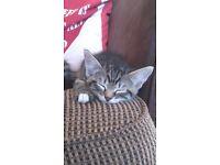 Last little male kitten left from litter off five, effectionate loving playful little boy