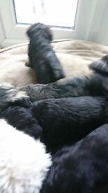 4 male Schnoodles ready in 3 weeks