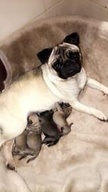 Pug puppies fawn colours