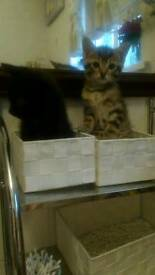 Kittens, black girl, tiger boy, 9 weeks, only good home! Please send sms if interested