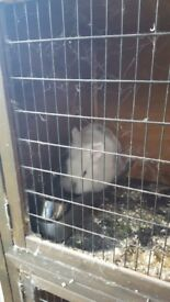 Rabbit with large cage. £20