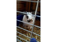 2 rabbits for sale with cage and extras