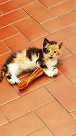 9 weeks kitten girl