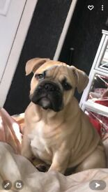 9 Month Old French/English Bulldog