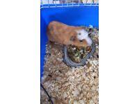 Boy guinea pig for sale