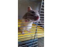 5 month old female Rat with cage and accessories
