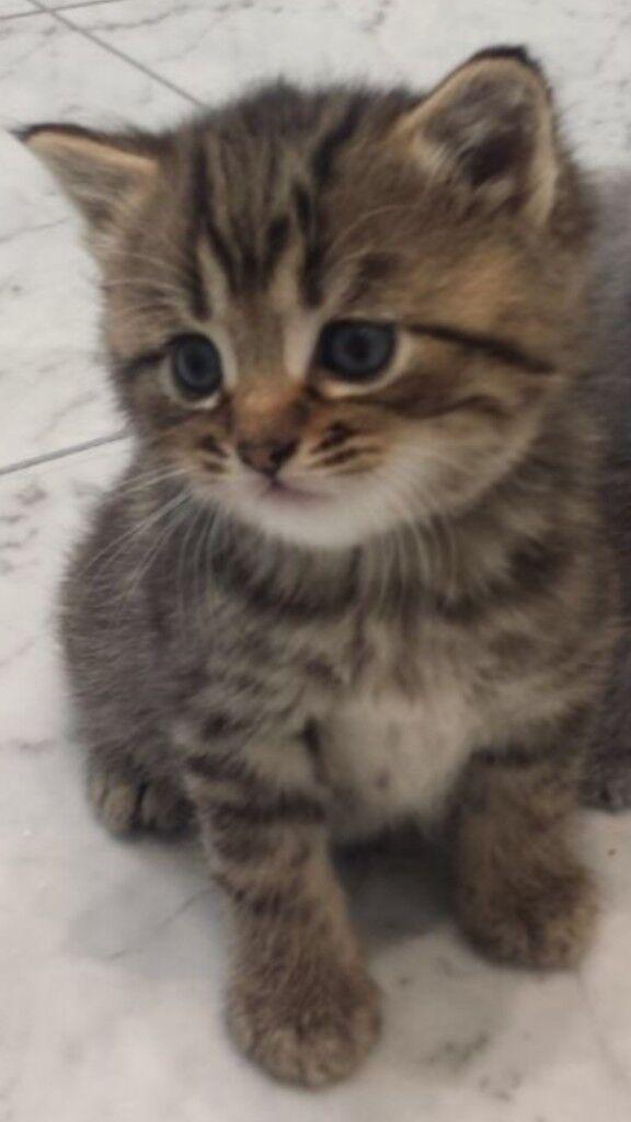 Cute Tabby Kittens In Ealing London Gumtree