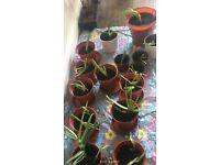 Aloe vera plants small £2.50 and medium £4.50