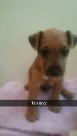 Lakeland pup