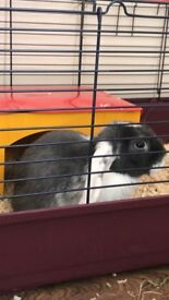 Grey and white mini lop bunny and accessories