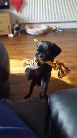 Black 5 month pug
