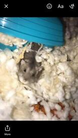 6 month old Syrian hamster comes with cage bedding food etc