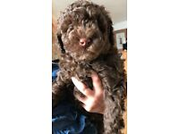 Toy poodle puppies apricot and chocolate