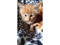 Female ginger kitten