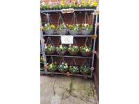 """Autumn/Winter Ready Made Pansy 12"""" Willow Effect Hanging Baskets - Mixed Colours"""
