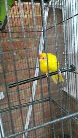 karakiki parrot