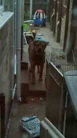 Urgent rehome 10month old mastiff cross rottie due to moving house