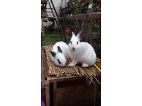 Rex cross bunnies