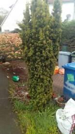 Garden Tree Irish Yew