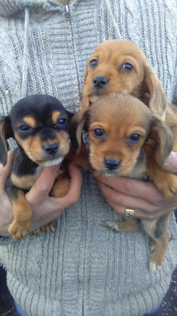 border terrier x cocker spaniel puppys | in Tonbridge ...