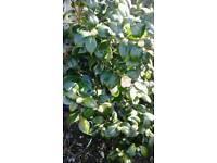 Camellia mature Shrub