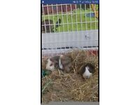 2 male guinea pigs 1 and half