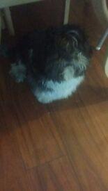 Shihtzu 2 years old