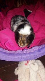 6 months black n white guinea pig