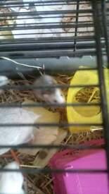 male syrian hamster tri colour