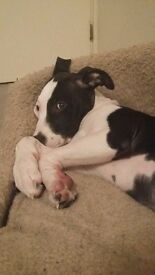 Adorable staffy puppy for sale 14 weeks old !