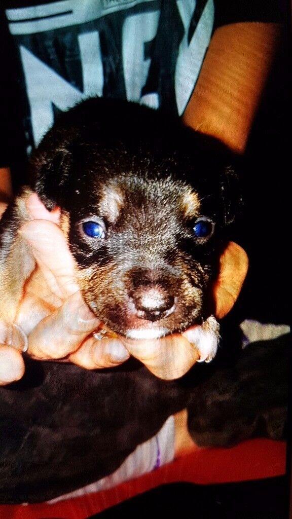 Staffordshire cross dog de borduex puppies