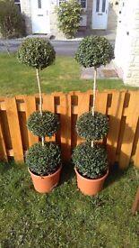 Buxus 3 ball stack garden plants