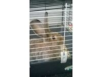 large continental giant rabbit and large indoor hutch £50 ono