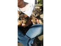 snorkie x airedale terrier pups