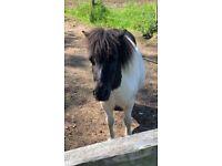 Mini Shetland mare