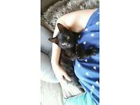 15 Week old Black kitten