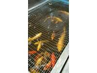 Large goldfish and shubunkins
