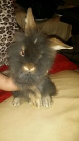 Beautiful baby rabbits 8 weeks old. Lop dwarf lionhead varieties.