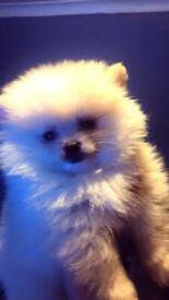 Pomeranian teddy bear puppies pedigree
