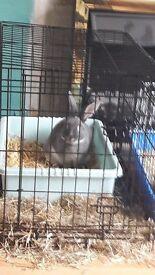 Grey buck rabbit