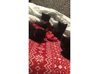 3 black and 1 black white kittens