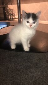 Beautiful white & black kitten