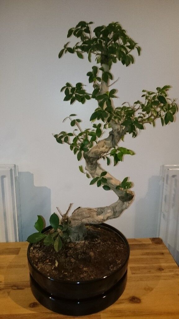 Bonsai Style Indoor Plant Ficus Microcarpa Ginseng In